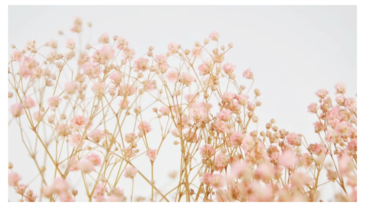 Gypsophilla Light Pink.