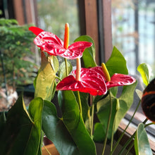 Load image into Gallery viewer, Rare Anthurium Flower Seeds (100 Pcs/Pack) Garden Beautiful  Bonsai Flower Seeds Potted Anthurium Andraeanu Seeds