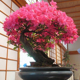 20pcs New Japanese Sakura Cherry Blossom Flower Seeds Bonsai Rare Tree Plants