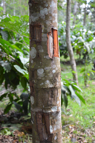a tree of the cinnamon variety freshly stripped of some of it's bark