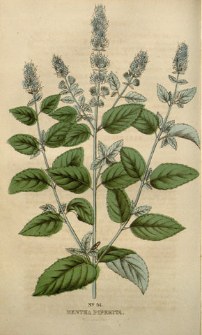 botanical illustration of the peppermint (Mentha piperita) plant
