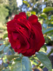 A rose head, symbolic of the Organic Geranium Rose Essential Oil contained in Lush Locks Organic Hair Oil