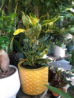 8 inch ceramic pot Banana Croton
