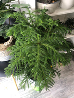 Norfolk Island Pine with 10 inch ceramic pot