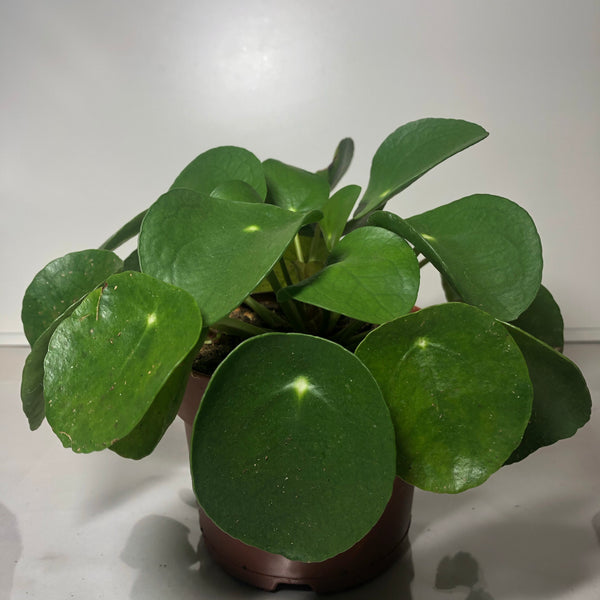 Chinese Money Plant 5""