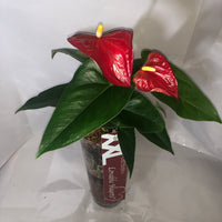 Laceleaf - Anthurium in Glass Cyl W/Pebbles & Bag