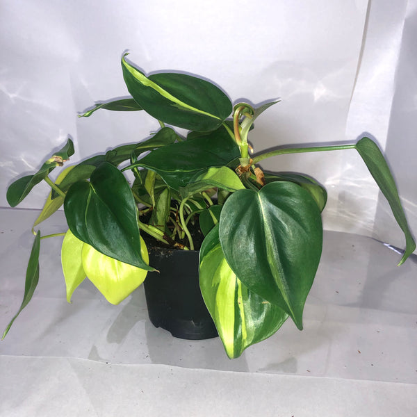 Philodendron 5""