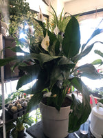 Peace Lilly white ceramic pot