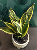Snake plant ceramic pot low 7 inch