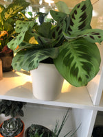 5 inch ceramic pot Prayer Plant