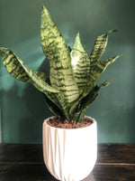 The Snake plant potted and plastic pot