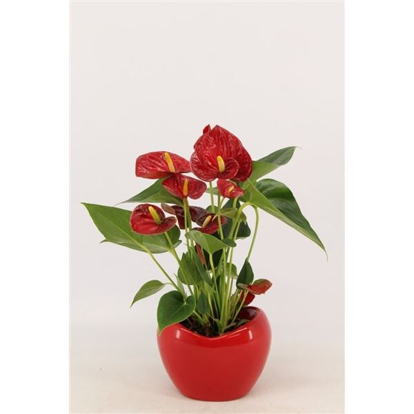 ANTHURIUM DIAMOND RED 9¯ 25cm