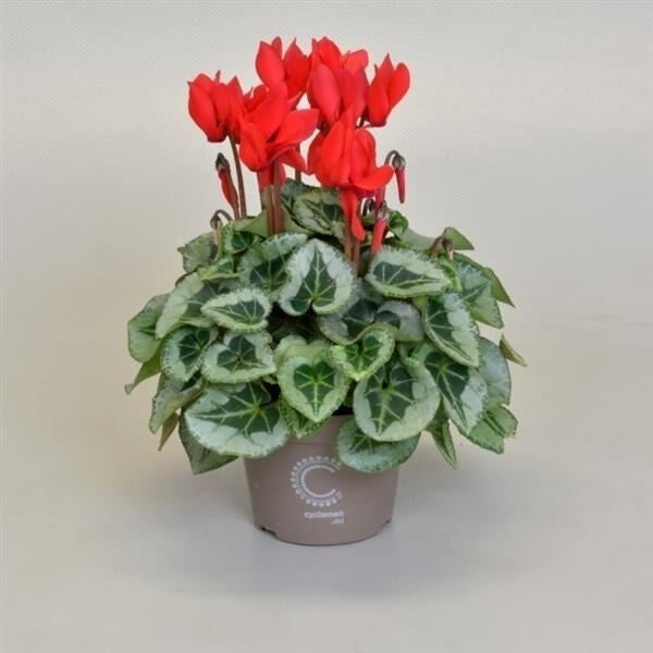CYCLAMEN SUPER PICAS RED 11¯ 25cm
