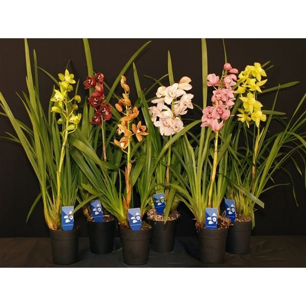 CYMBIDIUM ASST SP ORCHIDS