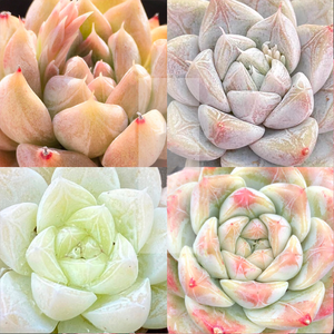Echeveria Nebula Mix II