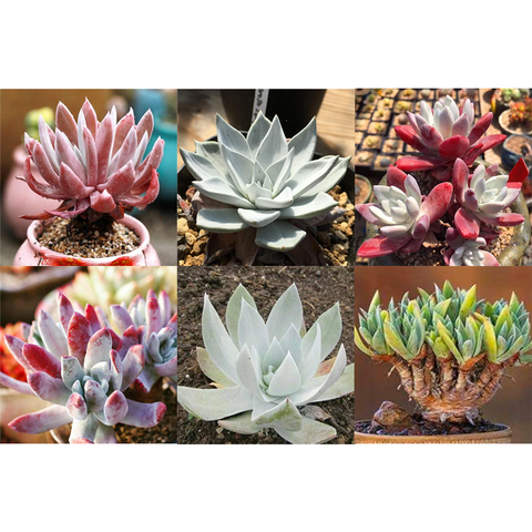 Dudleya Mix