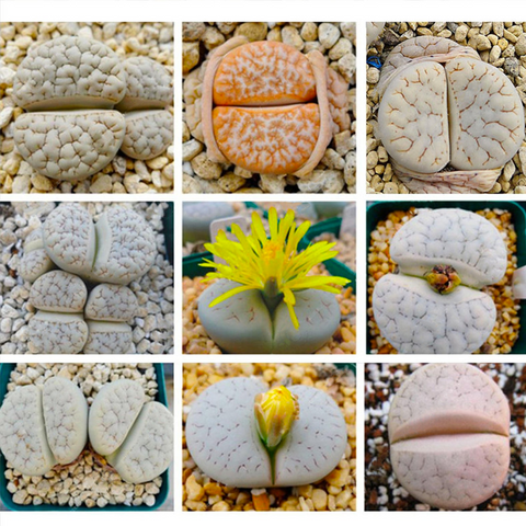 Lithops gracilidelineata Mix