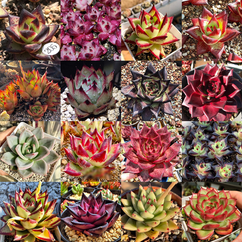 Echeveria agavoides Mix