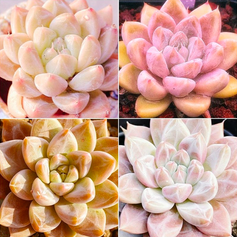 Echeveria Nebula Mix