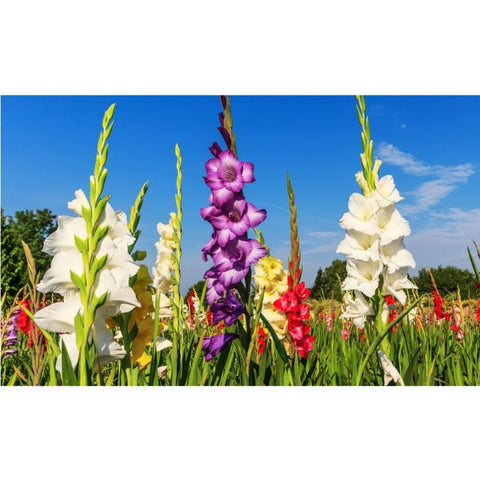 Image of Giant Gladiolus Mixed Flower Bulbs - 40  80 or 200 Pack