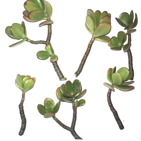 Image of 6-Pack of Jade Succulent Plant Cuttings - Easy to Root