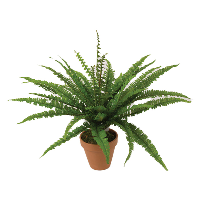 Potted Fern (Collection Only)