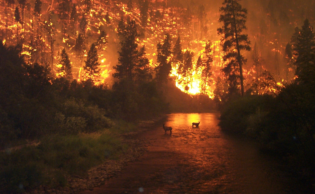 Elk in river during wildfire in Montana
