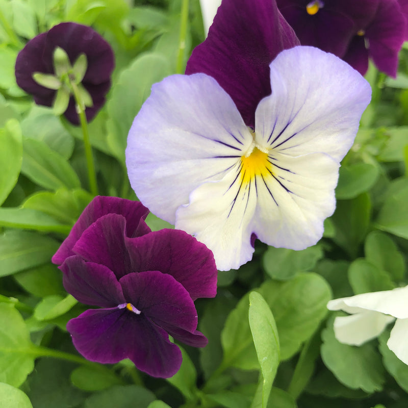 Pansy, Cool Wave®