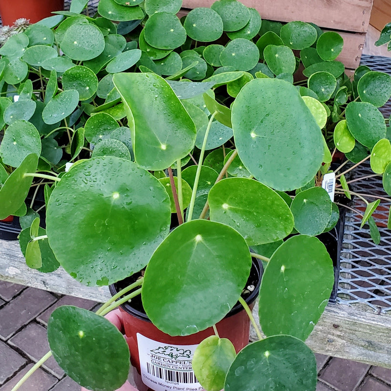 Pilea, Peperomioides (Chinese Money Plant)