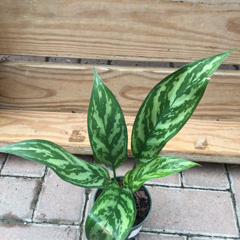 Aglaonema, 'Tigress'