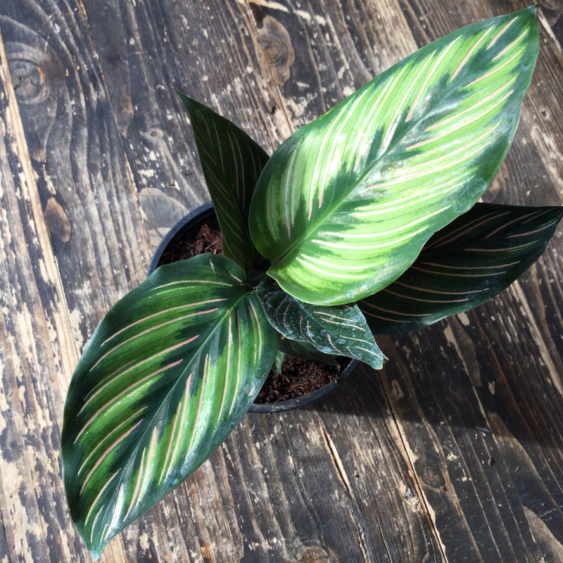Calathea, Beauty Star