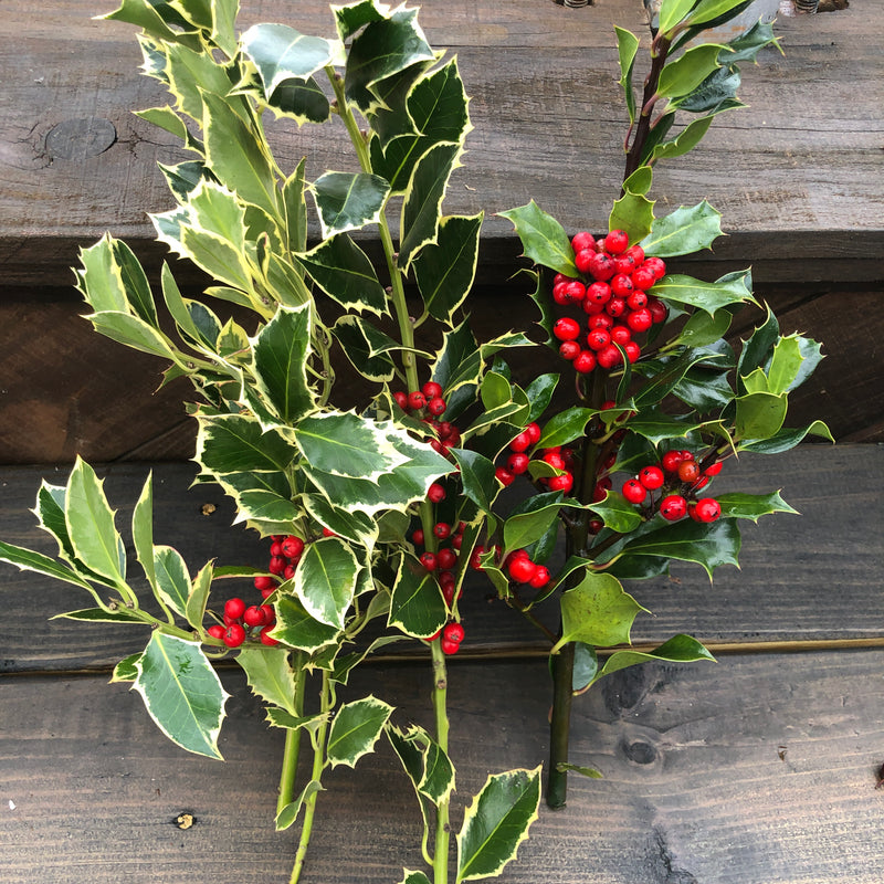 Fresh Holly Bunch