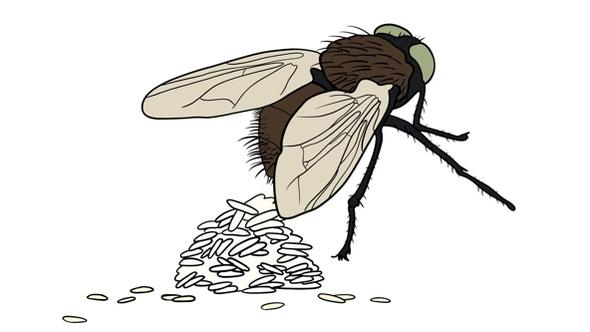 Cartoon image of fly making a pile of waste