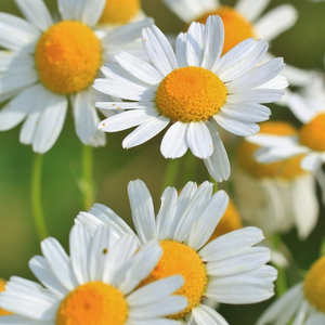 Load image into Gallery viewer, Chamomile Flower