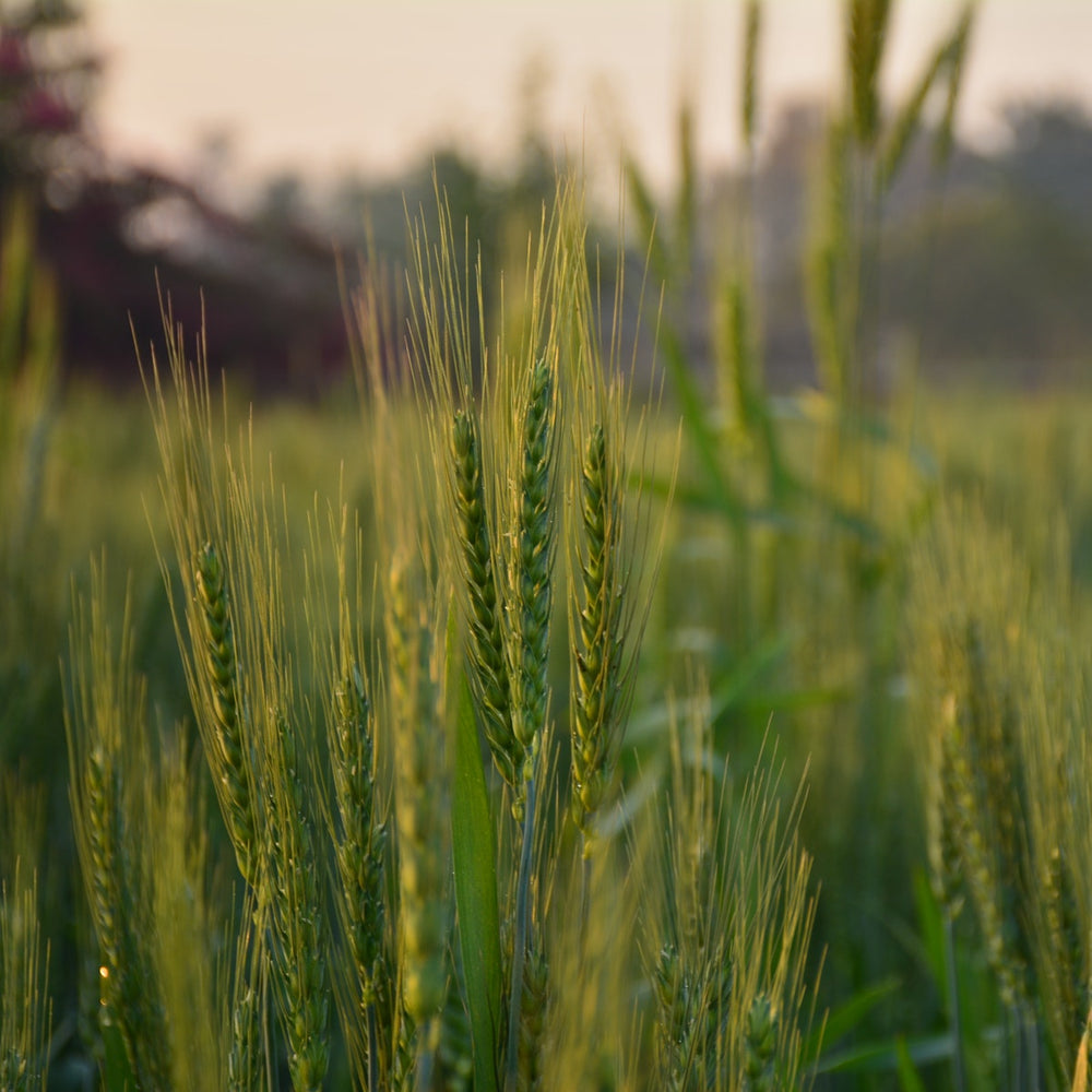 Oat Straw Cut & Sifted