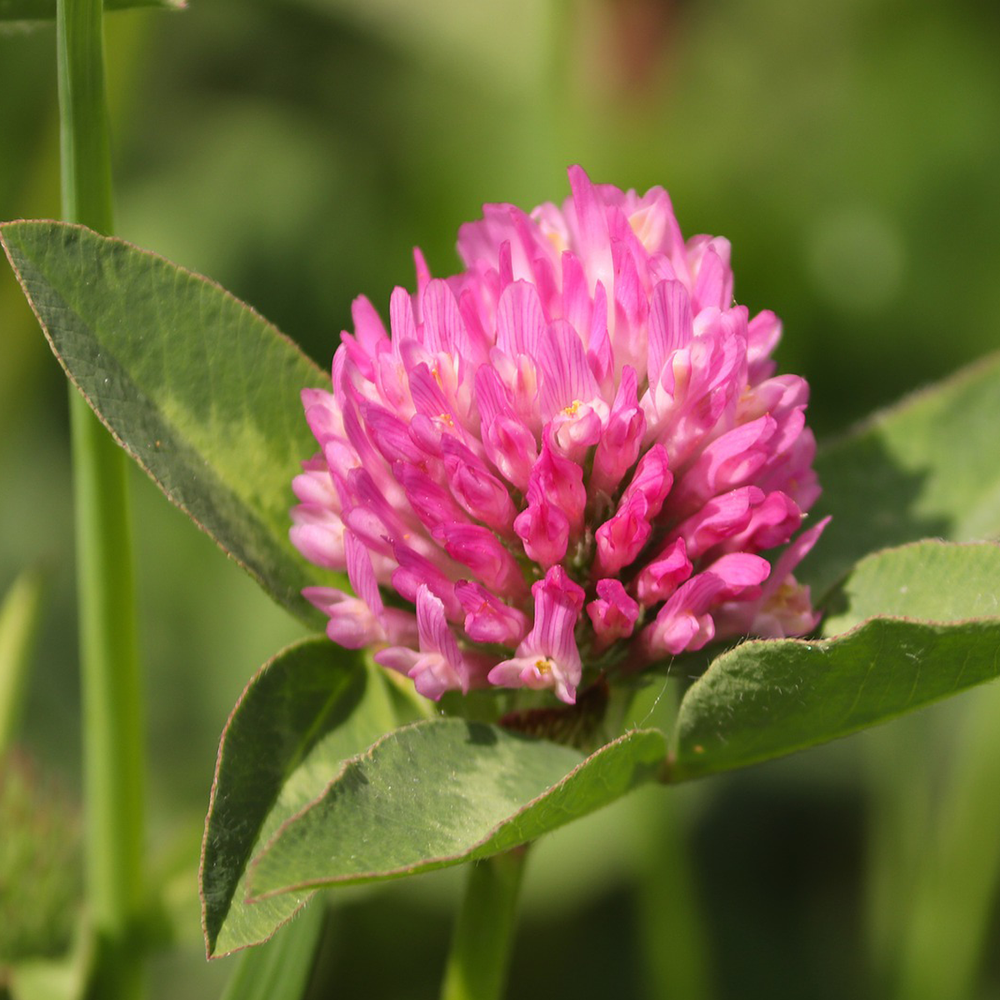 Red Clover Whole