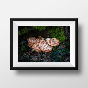 Print of 'Dryad's Saddle Fungus on a Stump' by Paul Ligas Photography