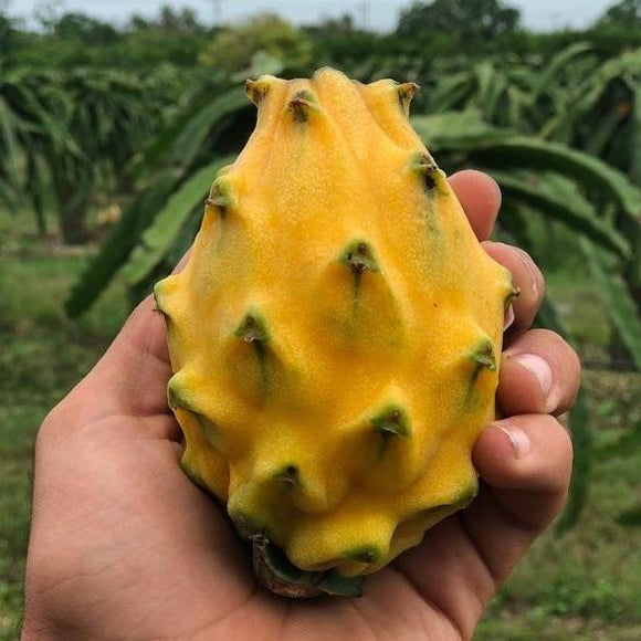 Yellow dragonfruit 6-9pc large in a 2kg carton