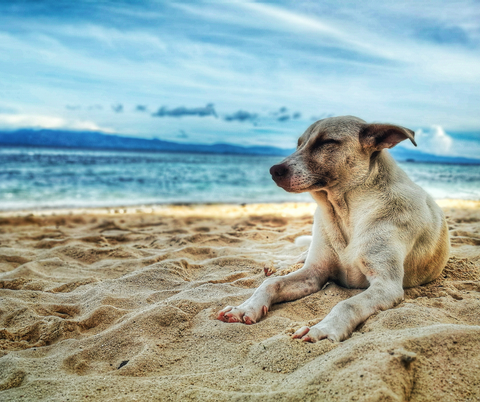 Natural handmade Australan pet shampoo dog with squinty eyes resting on beach with blue skies behind