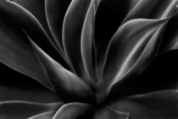 Ghost Agave