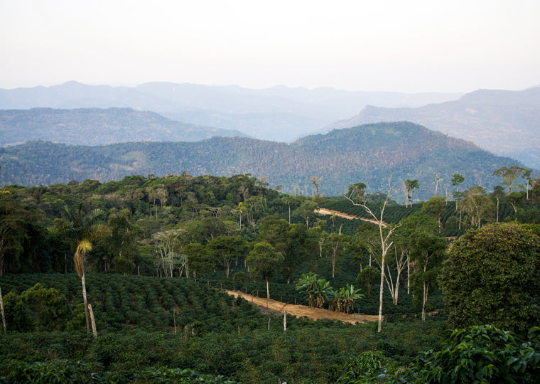 Fincas Los Rodriguez, Bolivia –one of the locations from which Market Lane Coffee sustainably sources ethical coffee.
