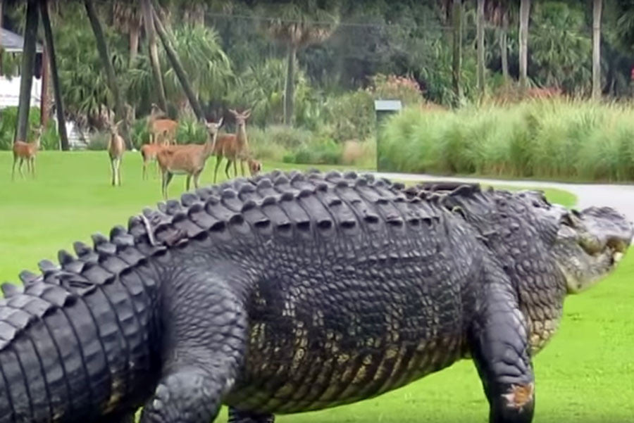 12ft Gator on Fripp Island Golf Course - South Carolina