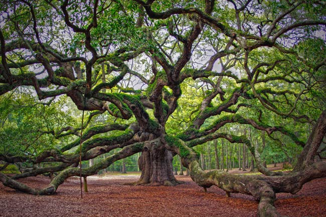 angel-oak-live-oak