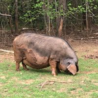 Archive from Gods Blessing Farm - Meishan Pig Info