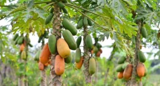 Papaya – The Superfood