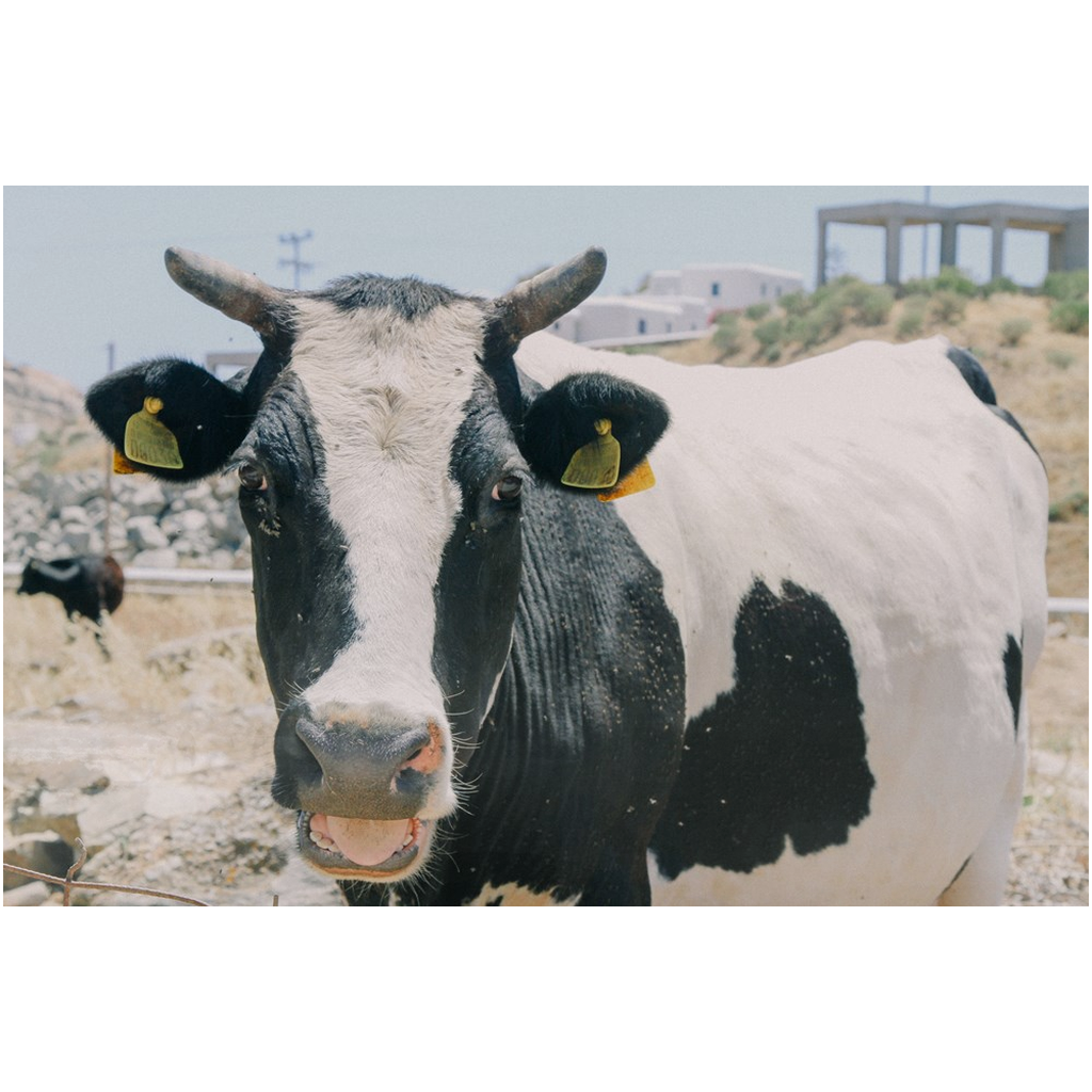 GREECE, The Cow