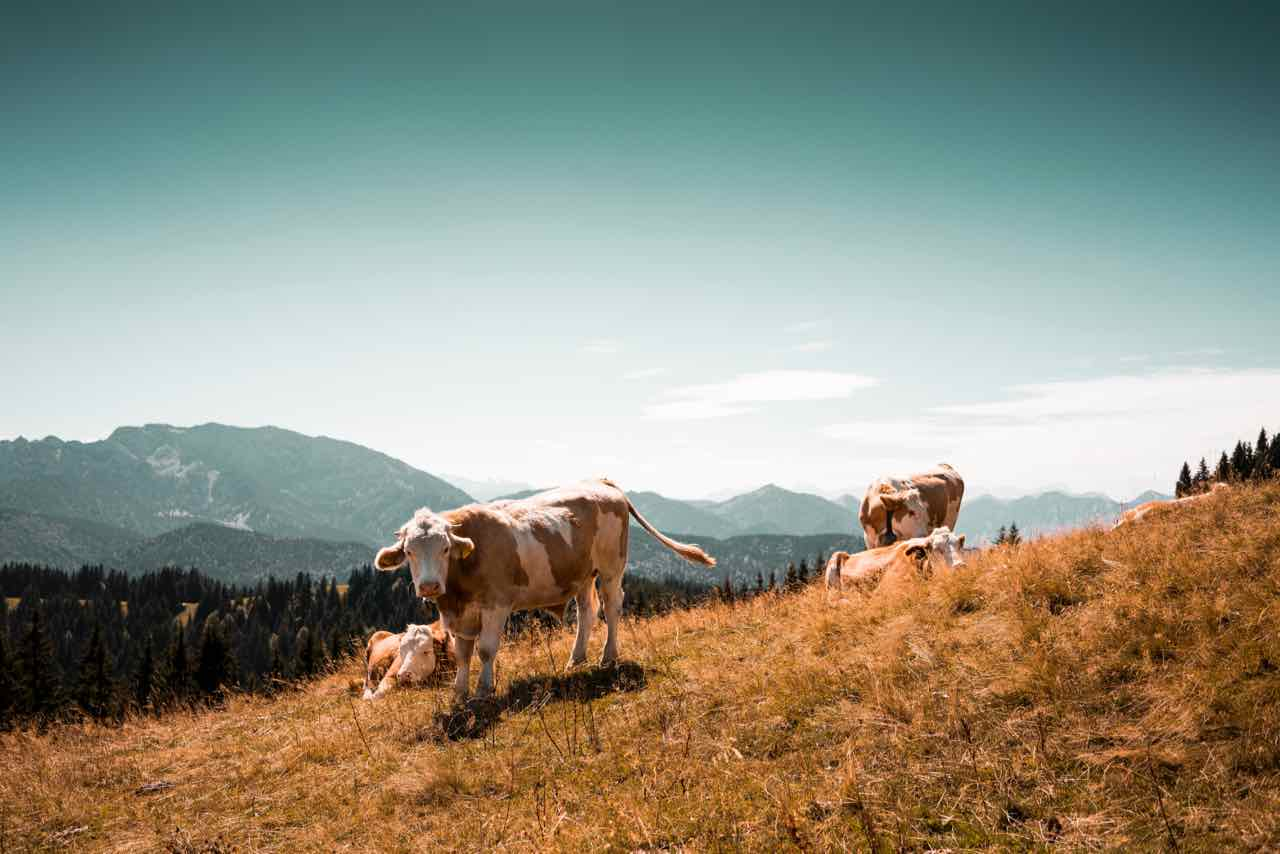 Dairy and athletic performance cows