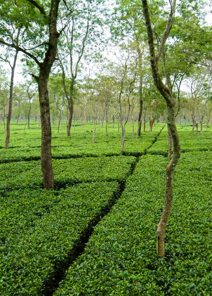 Assam tea fields