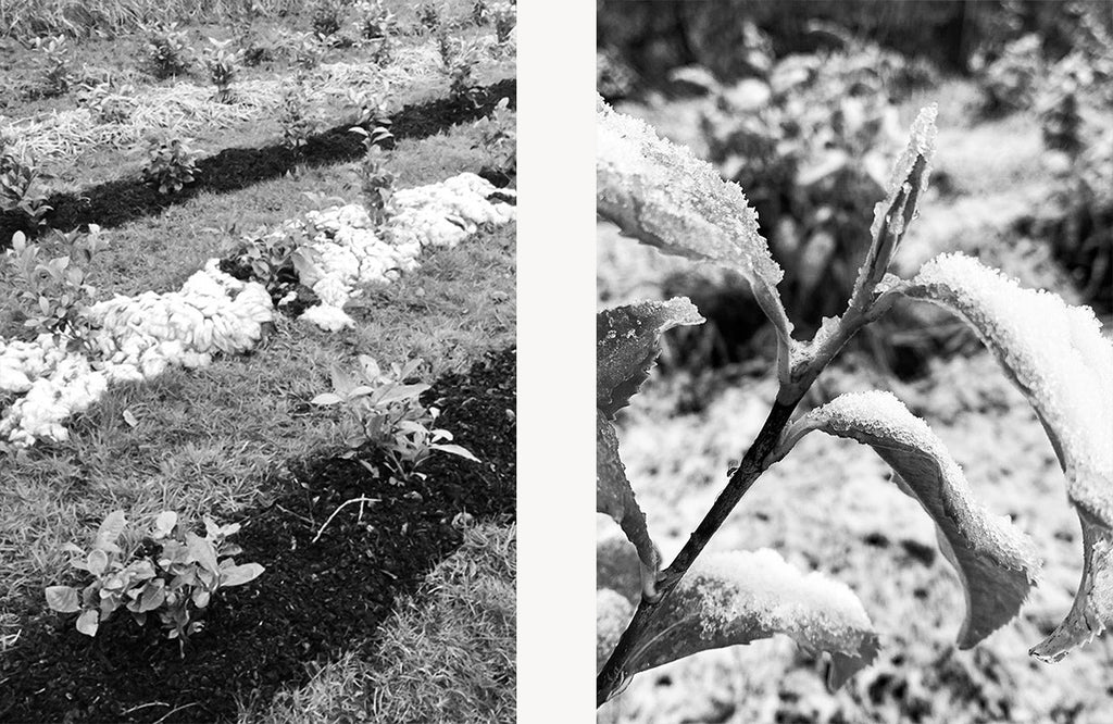 Left: Sheep's wool being used to insulate the tea plants. Right: Snow on tea leaves at Logie Tea Garden.