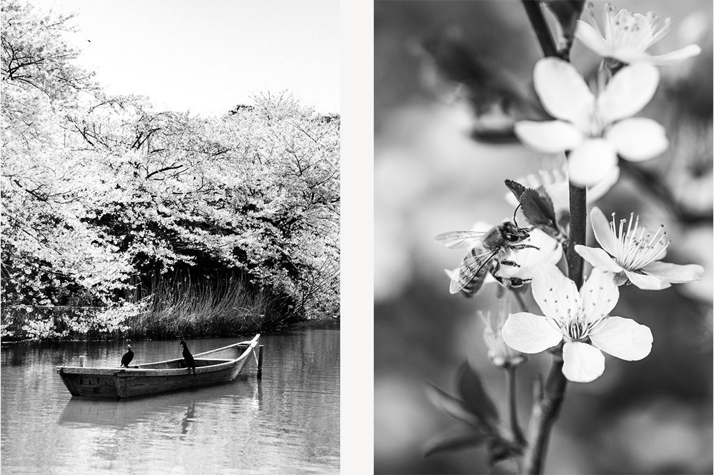 Left: small boat on a Japanese river underneath cherry blossom trees. Right: bee sitting on a cherry blossom flower